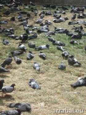 Pigeons en Notre Dame