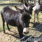 Los burros de Maria Antonieta en Versalles