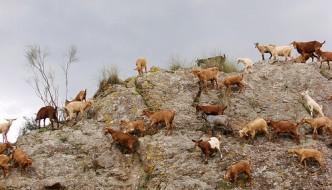 Cabras de Almogía
