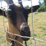 Las cabras de Maria Antonieta en Versalles