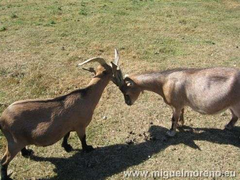 Les chèvres du village de Marie-Antoinette à Paris