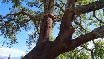 Alcornoque de los Montes de Málaga con el corcho quitado