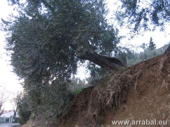 Olivo centenario a punto de caer a la carretera en Bedmar, Jaén