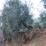 Olivo maltratado por las lluvias