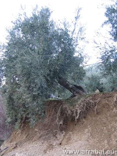 olivo-magina