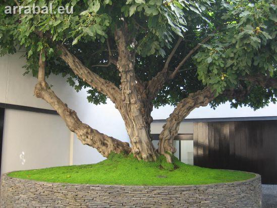 Higuera del Museo Picasso Málaga